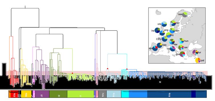 Figure 2 - Arbre créé à partir d'extraits de chromosomes Y européens